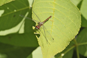 White-faced Meadowhawk in interior wetland.