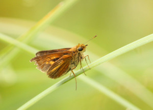 Dion Skipper | A colonizer from the south, now found in Renfrew County.