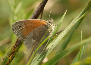 Common Ringlet in the field