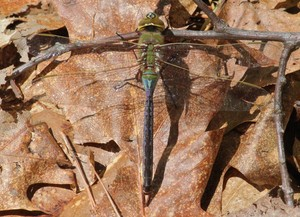 Common Green Darner   A dragonfly along the park road.