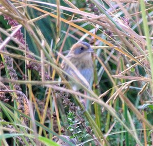 Nelson's Sparrow   Uncommon sparrow from late Sept to early Oct.