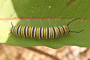 Monarch caterpillar   Found in a clearing below the Lookout Trail.