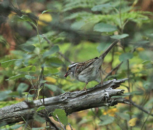 """White-throated Sparrow   The """"Oh Canada"""" bird. It can"""