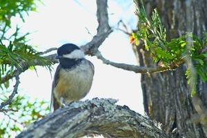 Black-capped Chickadee in interior wetland