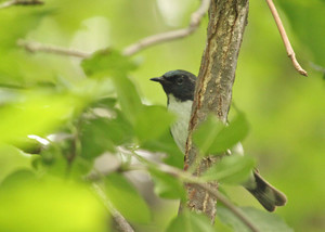 Black-throated Blue Warbler | Seen near #4 on sign.