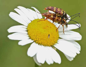 Daisy and Beetles   Found in a clearing below the Lookout Trail.