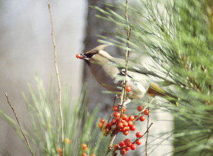 Bohemian Waxwings | October visitor to berry bushes.